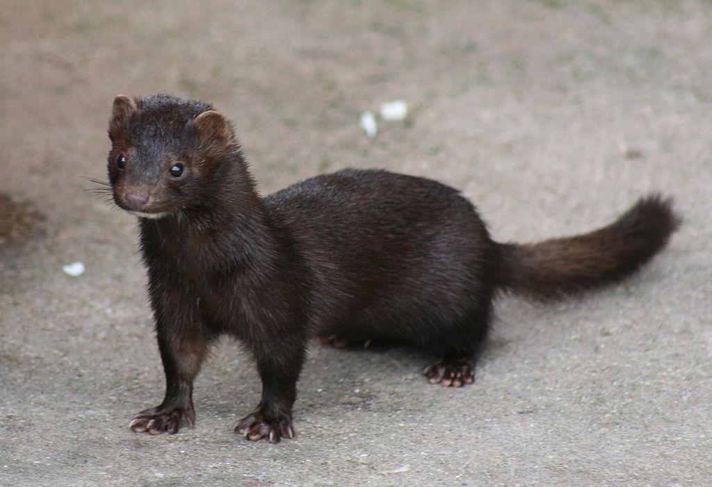 Photo of American Mink